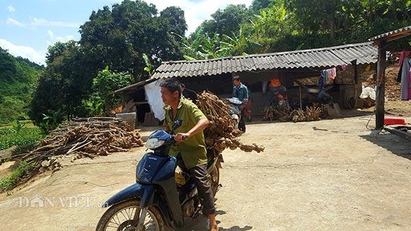 Thương lái lùng mua ngũ sắc dại, dân tình đổ xô lên rừng đào cả gốc - 1