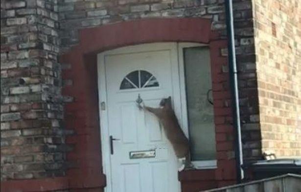 Video: Chú mèo lịch sự nhất thế giới, biết gõ cửa xin vào nhà - 1
