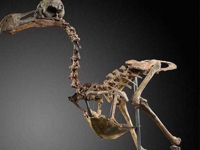 Loài chim đắt nhất thế giới, 1 bộ xương đắt ngang xe Ferrari