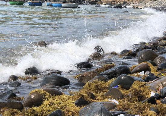 Kiếm tiền triệu mỗi ngày nhờ cắt hái rong mơ biển ở Quảng Ngãi - 1