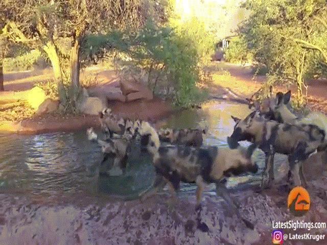 Video: Lợn rừng xuống đầm nước tắm, bị kẻ thù phục kích xé xác