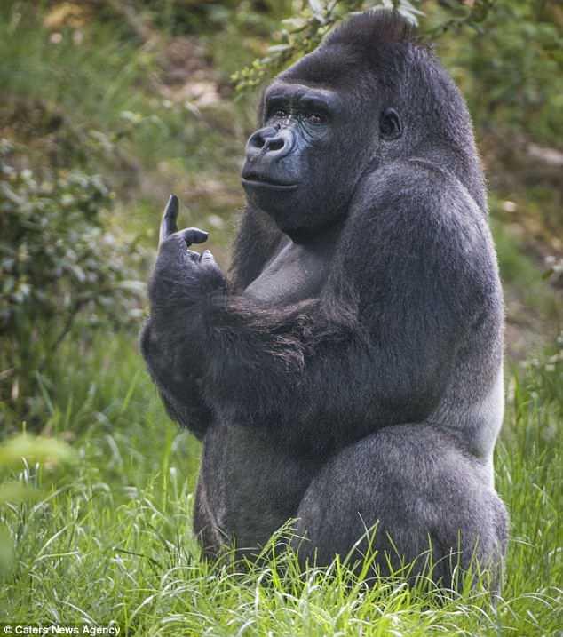 """Khỉ đột giơ """"ngón tay thối"""" về phía du khách - 1"""