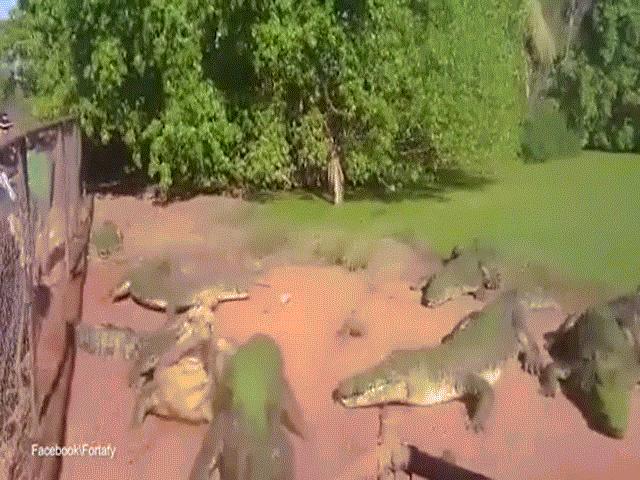 Video: Cá sấu bị bạn vặn đứt lìa một chân mà không hề hay biết