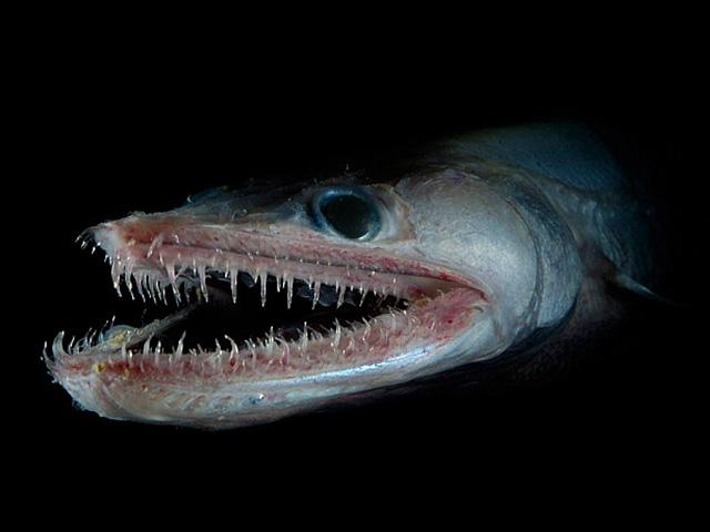 """Bắt được """"quái vật"""" cá có hàm răng sắc nhọn dưới đáy biển Australia"""