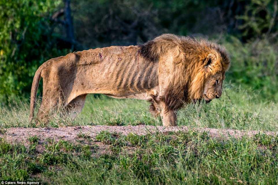 Sư tử chúa gầy trơ xương, đói khát chết gục vì bầy đàn bỏ rơi - 1