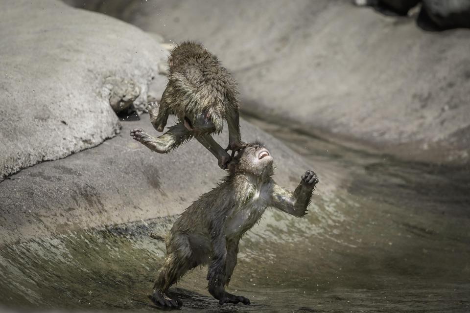 Khỉ đánh nhau như võ sĩ khiến nhiếp ảnh gia kinh ngạc - 1