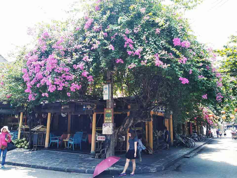 Phố cổ Hội An đẹp thơ mộng trong mùa hoa giấy khoe sắc - 1