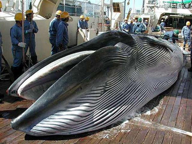 Nhật Bản thảm sát hơn 120 cá voi mang thai