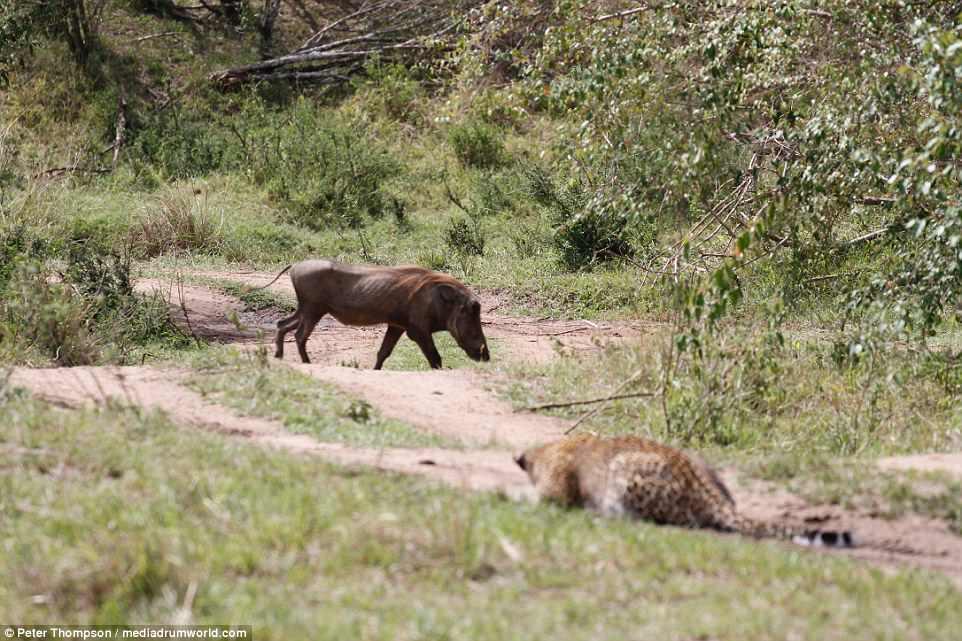Báo đốm mang thai tung đòn cực nhanh hạ gục lợn lòi - 1
