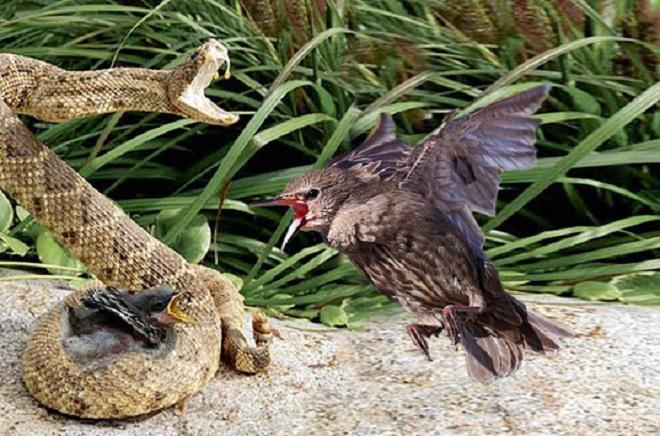 Video: Chim mẹ điên cuồng tấn công rắn kịch độc, trả thù cho con - 1