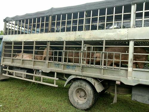 """Hãi hùng cung đường nhập lậu thịt lợn """"bẩn"""" giá 10.000đ/kg từ Trung Quốc - 1"""
