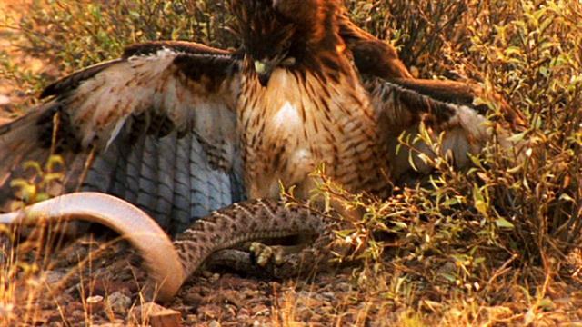 Rắn đuôi chuông kịch độc đi săn mồi, không ngờ làm mồi cho diều hâu - 1