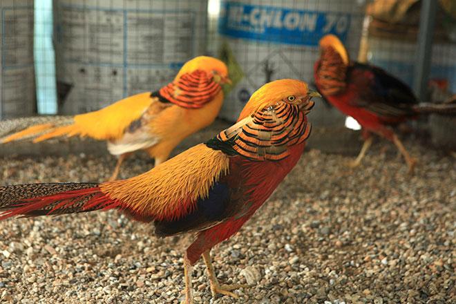 Chiêm ngưỡng đàn chim trĩ 7 màu quý hiếm của đại gia Thái Nguyên - 1