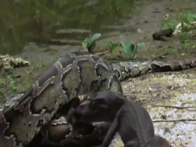 Trăn khổng lồ nuốt chửng cá sấu, không ngờ bị con khác xé toạc bụng