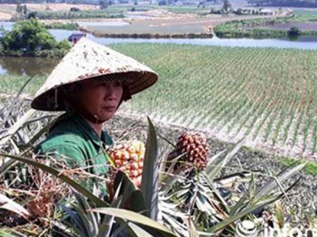 Thanh Hóa: Dứa rẻ như cho, người nông dân bỏ thối đầy đồng