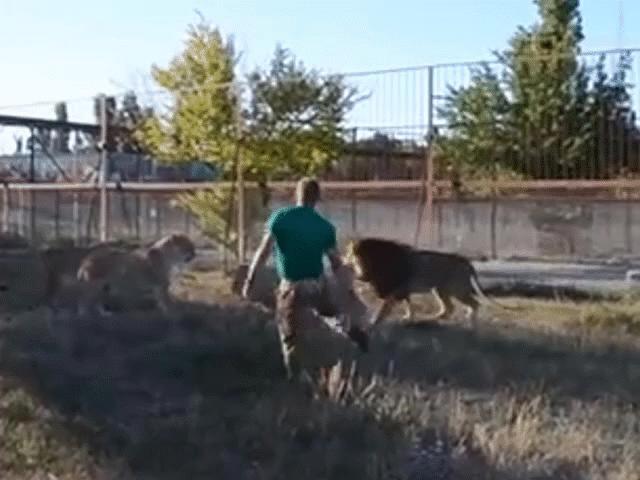 """Sư tử đầu đàn """"ăn dép"""" của chủ vườn thú do bắt nạt sư tử cái"""