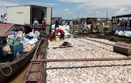 Ngư dân làng bè La Ngà trắng tay sau vụ 1.500 tấn cá chết - 1
