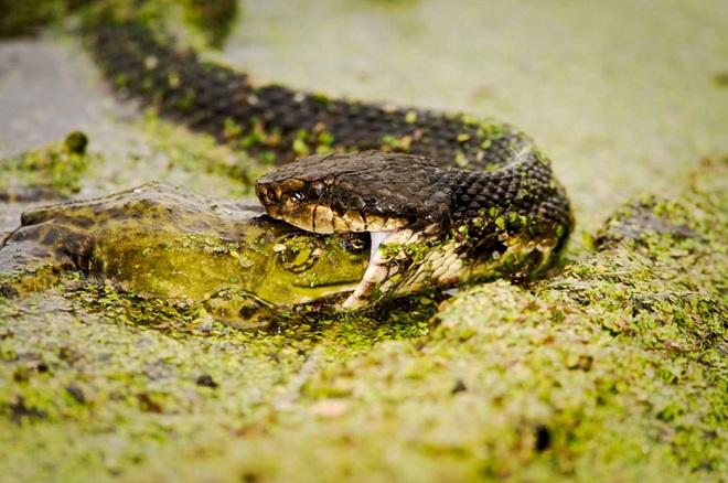 Rắn nước kịch độc bị cá sấu khổng lồ phục kích, xơi tái - 1