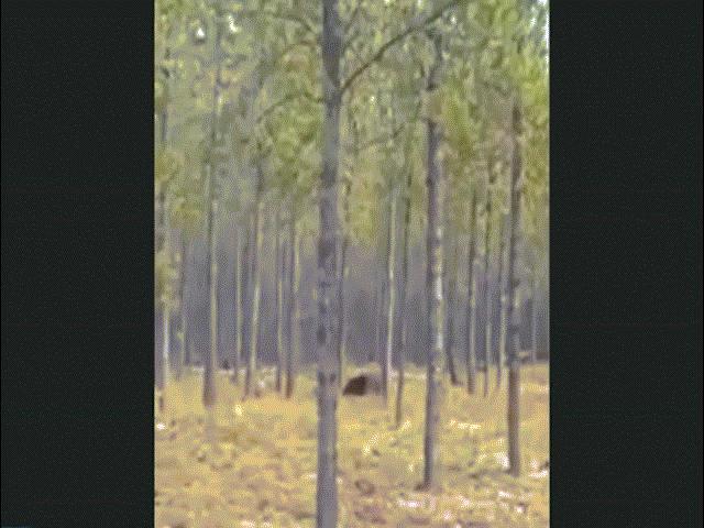 Video quái vật khổng lồ bí ẩn đuổi chó trong rừng Mỹ