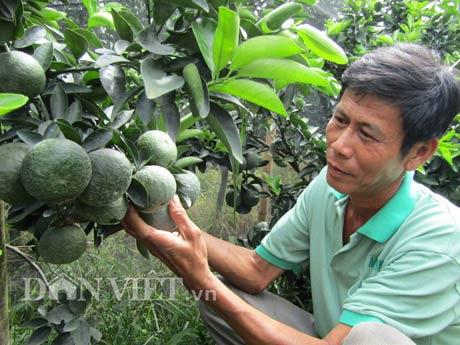 """Lão nông """"khùng"""" thu tiền tỷ nhờ trồng cam sành…dày đặc - 1"""