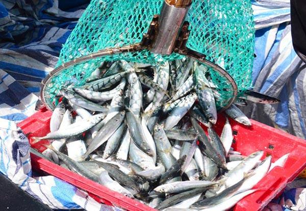 1 đêm đi biển bắt mỏi tay được 3-6 tấn cá nục, lãi từ 40-60 triệu - 1