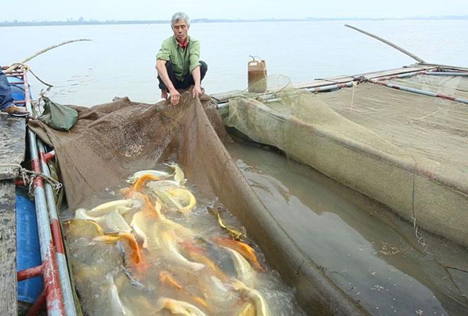"""""""Quốc ngư Nhật Bản"""" xuất hiện giữa lòng sông Hồng - 1"""