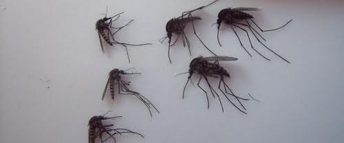 Muỗi khổng lồ Bắc Cực tấn công các điểm thi đấu World Cup ở Nga - 1