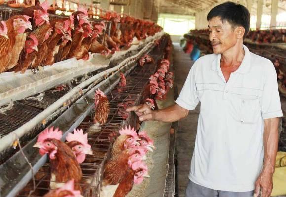 """Cận cảnh trại gà lạnh 20.000 con, mỗi ngày """"đẻ"""" hơn 10 triệu tiền lãi - 1"""