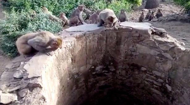 Đàn khỉ cứu mạng báo rơi xuống giếng ở Ấn Độ - 1