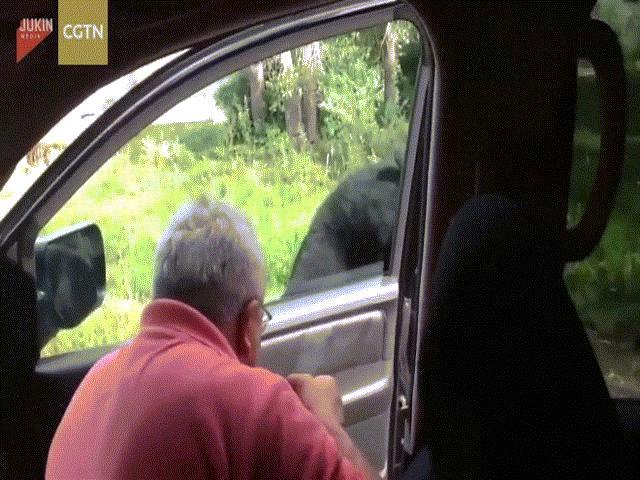Hú vía khi gấu đen tự tay mở cửa ô tô của du khách