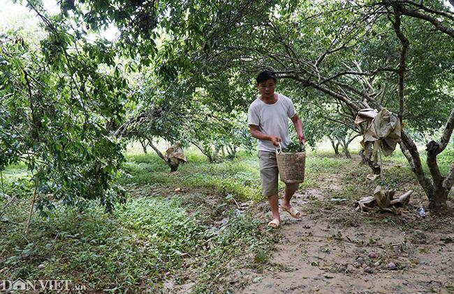 Tại huyện Bắc Hà (Lào Cai), hàng loạt vườn mận tam hoa có diện tích rộng lớn đang vào mùa thu hoạch.