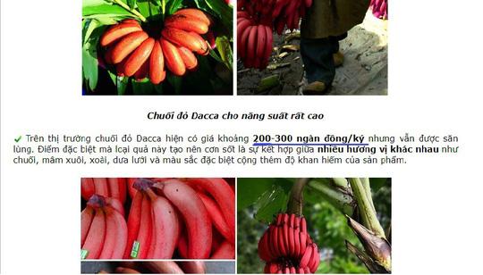 Thực hư về loại chuối đỏ 300.000 đồng/kg - 1
