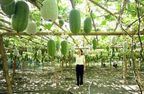 Trồng giống bí xanh thơm từ thân, lá đến quả, 1ha thu 200 triệu - 1