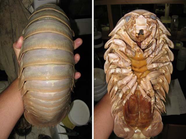 Loại hải sản có vẻ ngoài ghê rợn sống dưới đáy biển sâu 2000 mét