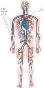 Hệ mao mạch – những điều chưa biết về người hùng của cơ thể - 1