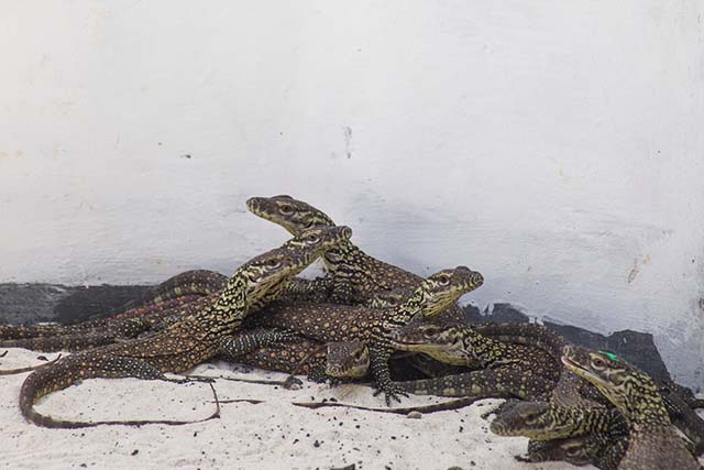 Hòn đảo này phải đóng cửa vì du khách trộm rồng Komodo quá nhiều - 1