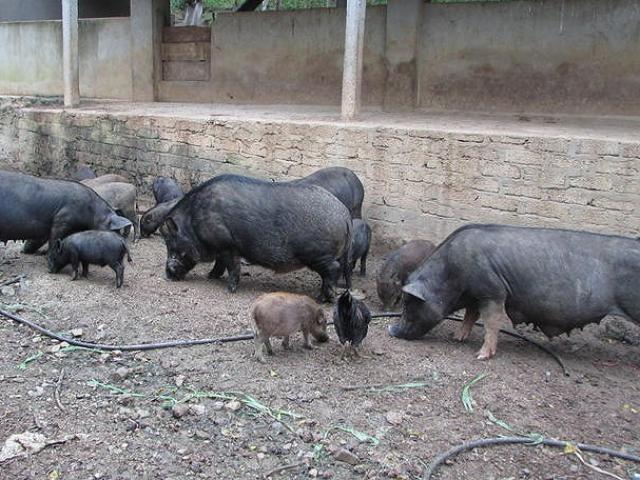 Chàng trai khuyết tật học ngành y nhưng về quê nuôi lợn, kiếm nửa tỷ/năm