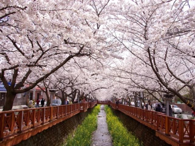 Du khách châu Á rầm rập kéo đến Hàn Quốc để chiêm ngưỡng cảnh đẹp ngất ngây này