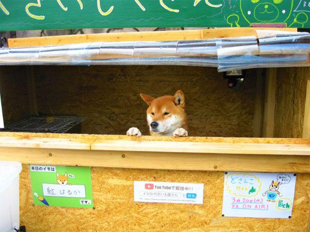 Kỳ lạ chủ quán khoai lang nướng ở Nhật Bản lại là…1 chú chó