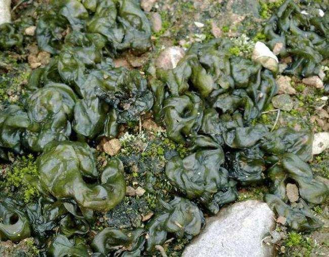 Sau khi mưa mới có để ăn, loại thực vật này có giá hơn 100 nghìn nửa cân - 1