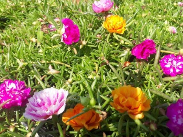 """Lạ đời hoa mười giờ nở hoa cả ngày không """"ngủ"""""""