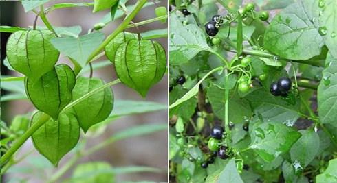 Thứ rau dại thành đặc sản, dễ nhầm với cây có độc - 1