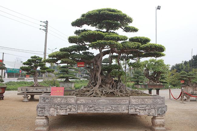 """Ông Nguyễn Mạnh Cường, 60 tuổi (TP. Hải Dương), chủ sỡ hữu cây sanh """"Long chúa"""" cho biết, đây là cây sanh già nhất ở làng cây cảnh Việt Nam – xã Nam Điền ( huyện Nam Trực, Nam Định). Được biết ông Cường là một đại gia có tiếng ở TP. Hải Dương."""