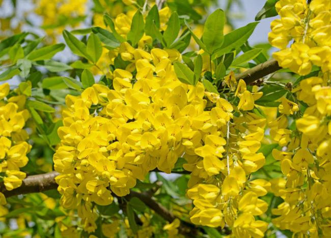 Cây kim tước cũng là một trong những loài thực vật chứa chất độc mà du khách có thể tìm thấy trong khu vườn Poison.