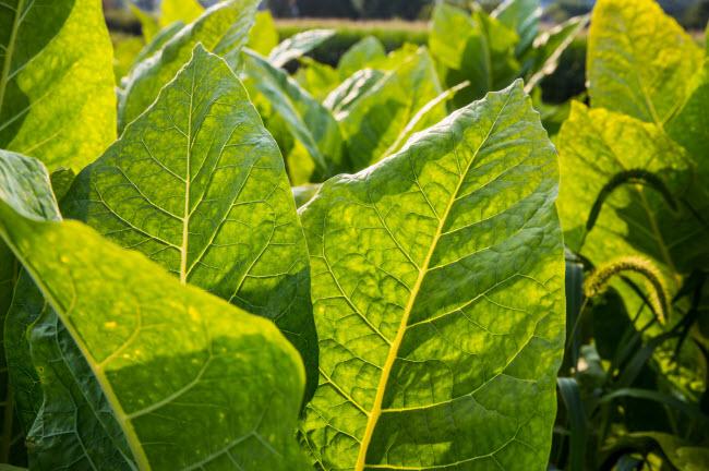 Cây thuốc lá cũng được trong vườn.