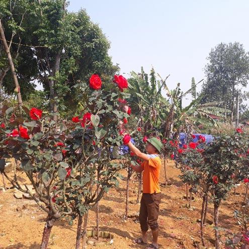 Vườn hồng cổ Trung Quốc bạc tỷ đẹp như mơ độc nhất vô nhị ở Lai Châu - 1