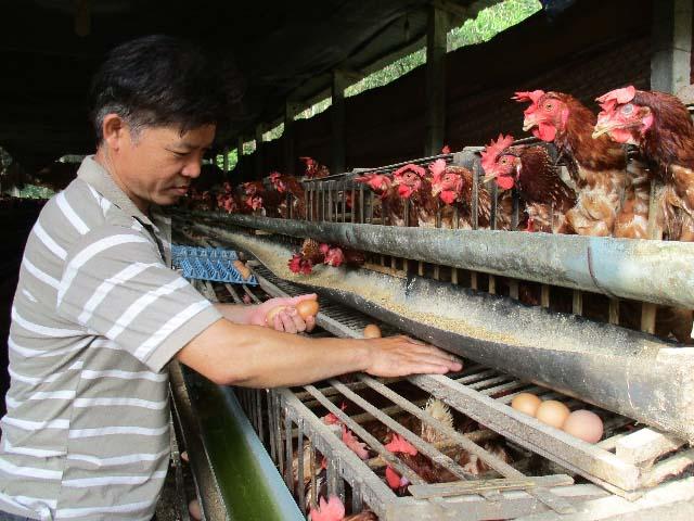 Quảng Nam: Nuôi gà siêu trứng, dưới ao thả cá, lãi 12 triệu/tháng - 1