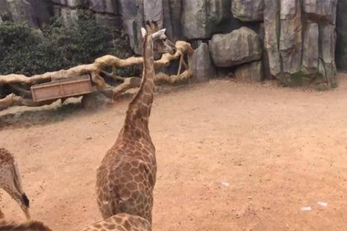 Vườn thú Trung Quốc sốc vì khách ném 1.500 USD cho hươu cao cổ - 1