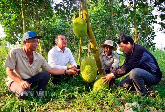 Kiên Giang: Mít Thái giá 500 ngàn/trái, lái vô tận vườn đòi mua - 1