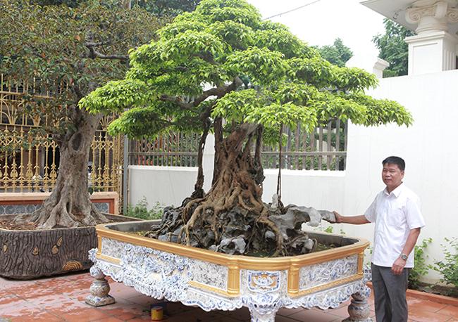 Cây cao khoảng 2,2m, tán rộng 2,5m. Đây là cây sanh tầm trung, chậu của cây mới được anh Toàn thiết kế lại, chậu mới có giá khoảng 80 triệu đồng.